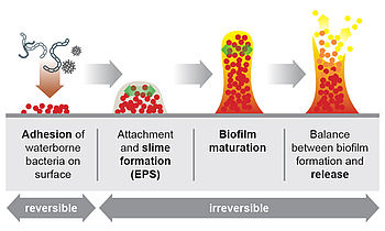 How does a biofilm form?